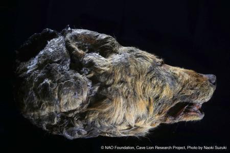 北東シベリアの永久凍土で見つかった約3万年前のオオカミの頭部(研究 ...