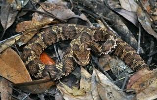 まむし マムシの特徴を画像で解説 意外と知らないその生態|カナヘビもどき