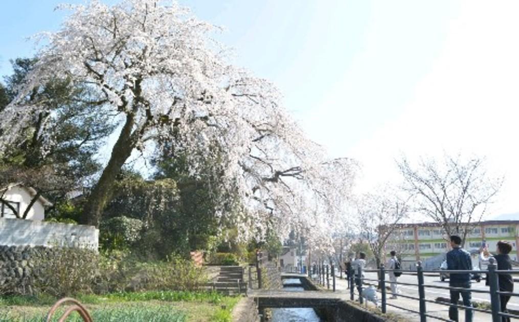 大原大しだれ桜が満開 日田市指定保存樹 31日に住民主催の「まつり ...