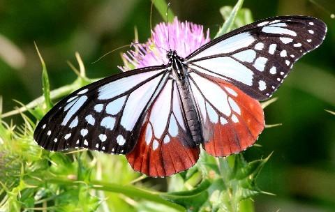 旅するチョウ羽休め アサギマダラ、五島市に飛来|【西日本新聞ニュース】