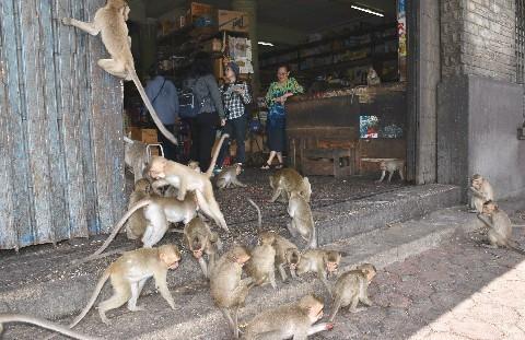サルに占拠された街 タイ・ロッブリー県 観光に利用 餌付けの弊害 ...