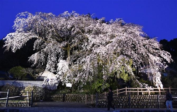 夕闇に浮かぶしだれ桜 日田市で見頃|【西日本新聞ニュース】