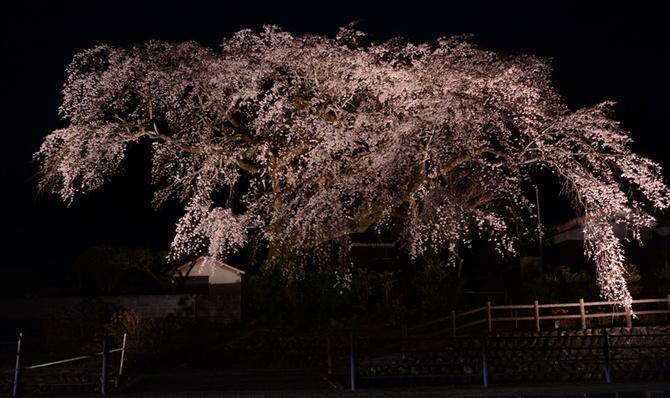闇夜に浮かぶ大花笠 日田の「大原大しだれ桜」ライトアップ|【西日本 ...